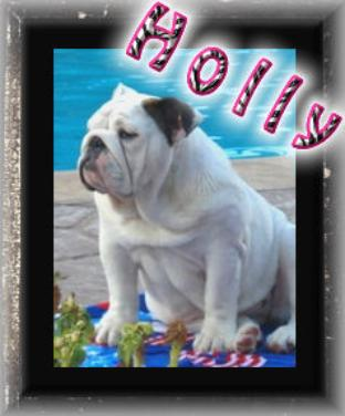 Champion English bulldog stud Ch. Steelebull Catch Me If U Can