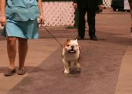 Champion bulldog stud service English bulldog stud