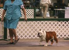 Champion bulldog stud service Champion Tommy Boy sired by Ch. Steelebull Catch Me if U Can
