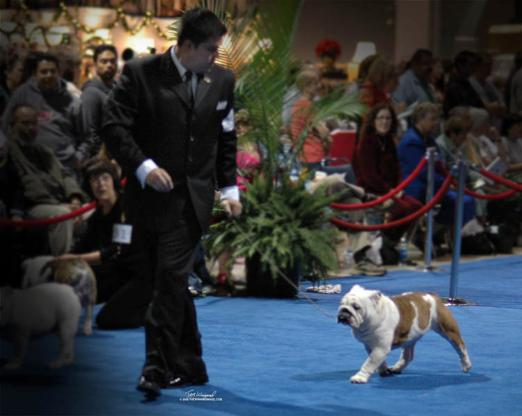 Top bulldog stud Eukenuba 1st award of merit