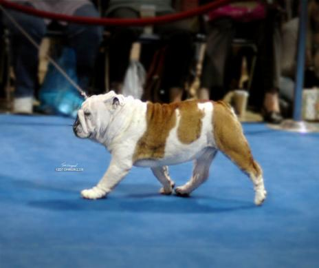 Ch.steelebull Catch Me if U can  at AKC eukenuba National championship