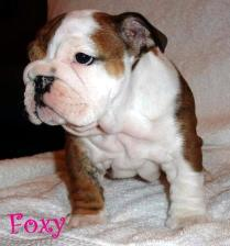 Bulldog puppies sired by Ch. Steelebull Catch Me IF U Can