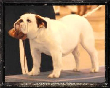 Champion Bulldog stud Ch. Steelebull Catch Me If U Can