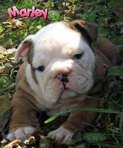 bulldog puppy sired by Ch. Steelebull catch Me if U can