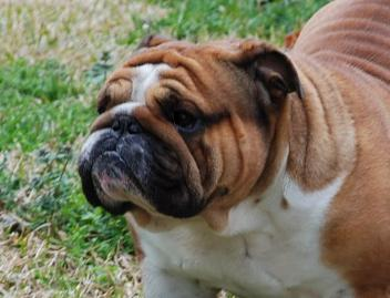 Bulldog stud service, bulldogs for sale