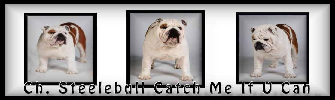 Champion Steelebull Catch Me If U Can Bulldog stud service