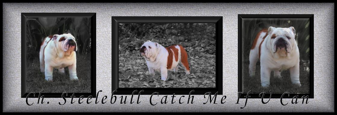 Ch.Steelebull Catch Me If U Can Champion bulldog stud service